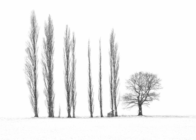 Poplars in snowstorm