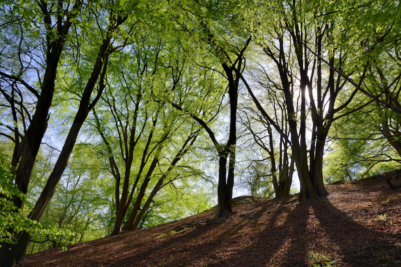 Beech Trees in Spring Foliage by Chris Lewis - C (PDI)