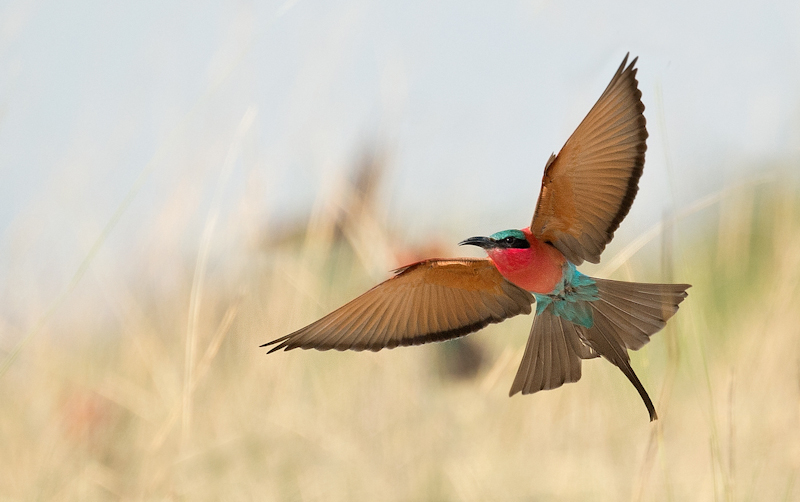 Carmine Bee Eater in Flight by Audrey Price-HC (PDI)