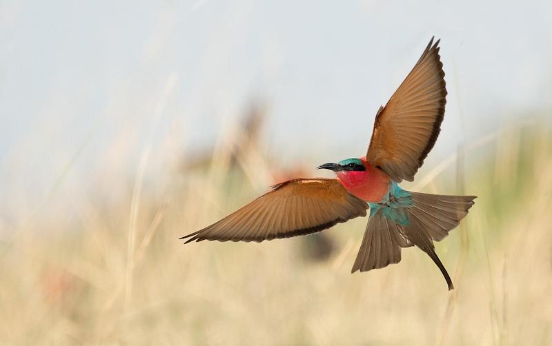 Carmine Bee Eater in Flight by Audrey Price-HC (PDI)