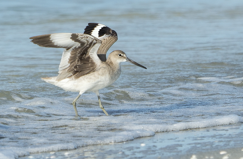 Willet Landing by Audrey Price-C (PDI)
