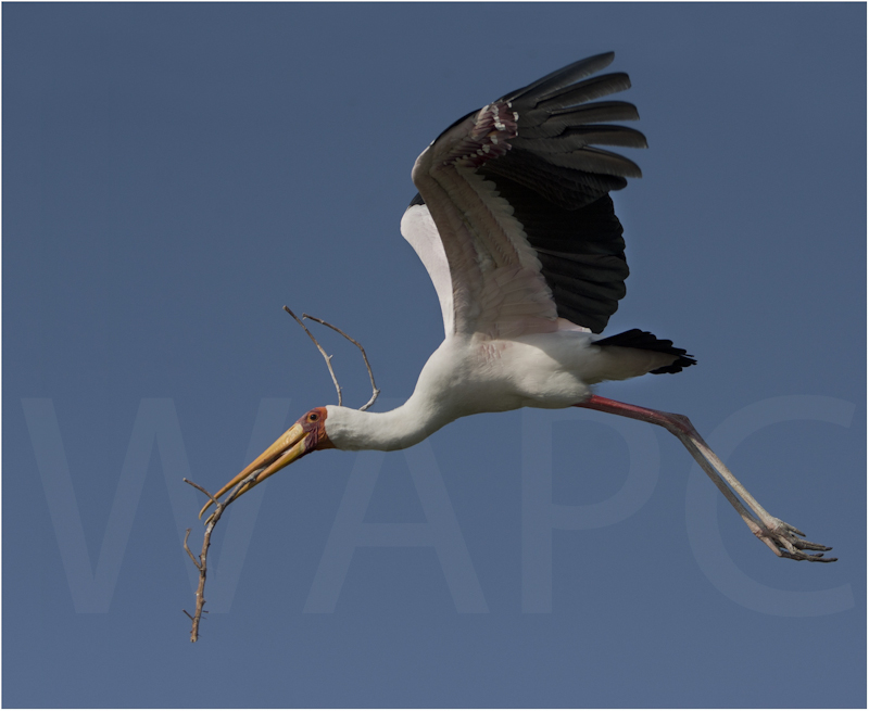 Yellow Billed Stork Nestbuilding by Alan Lees-C (PDI)