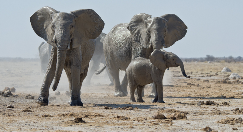 Elephants Leaving Mud Bath by Audrey Price - HC