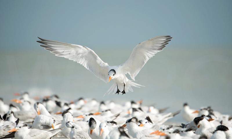 Royal Tern Landing by Audrey Price - C
