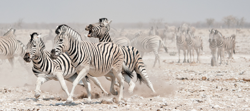 Zebra Stallions fighting by Russell Price - 2nd