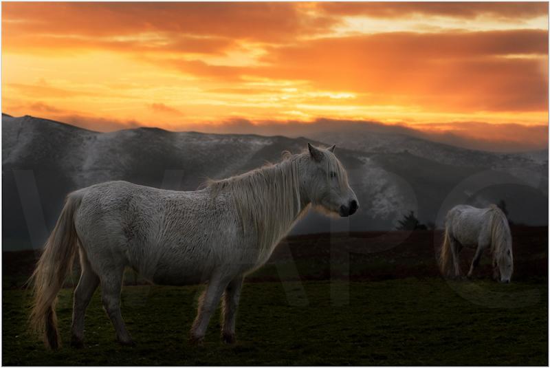Long Mynd Ponies by Tim Growcott - C