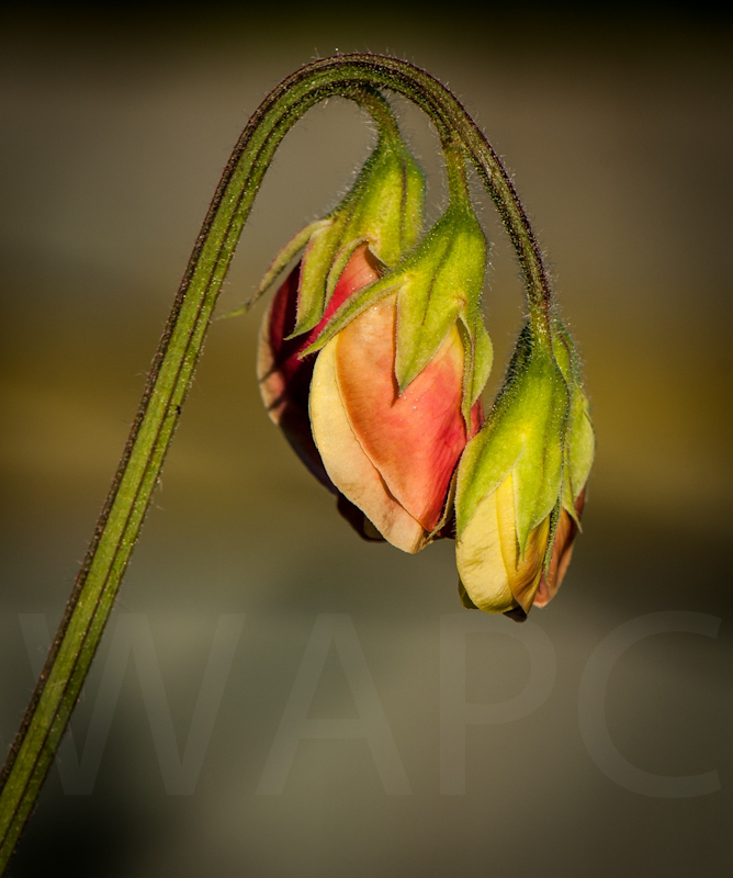 Sweet Pea by John Sweetland - 1st