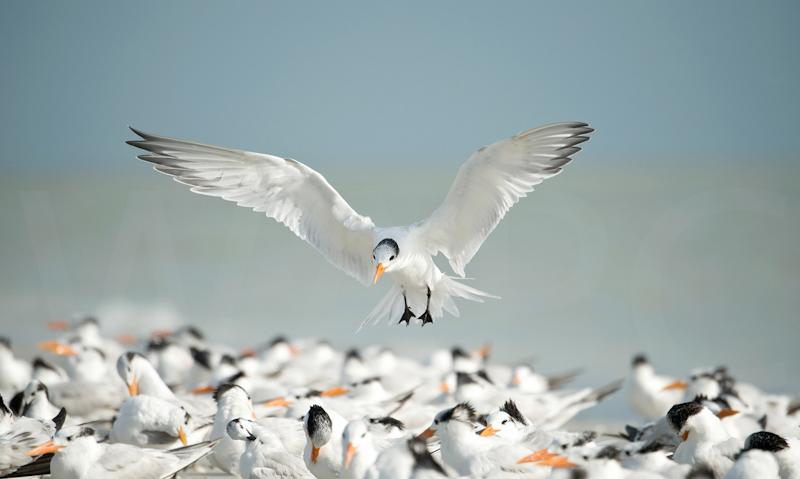 Royal Tern landing by Audrey Price