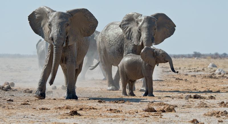 Elephants leaving mud bath by Audrey Price