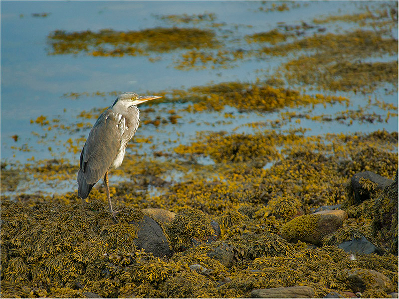 Heron on Seaweed