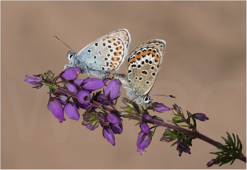 Silver Studded Blues Mating by Alan Lees - First (Adv)