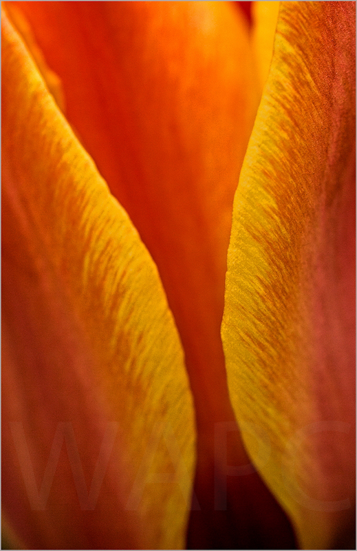 Tulip by Janet Griffiths - C (Adv)