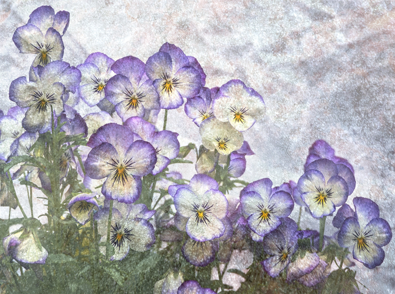 Pansies by Gerry Froy - 1st (Int col)