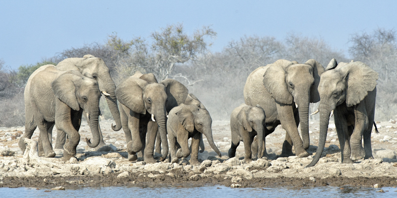 Rush for the Waterhole by Audrey Price - C (Adv col)