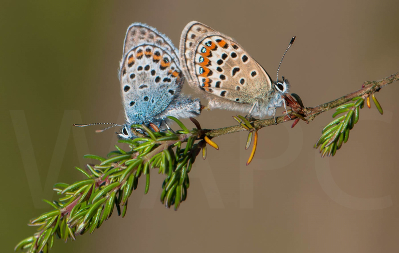 Silver Studded Blues Mating by John Sweetland - C (Adv col)