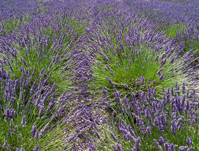Lavender by Gerry Froy - 3rd (int)