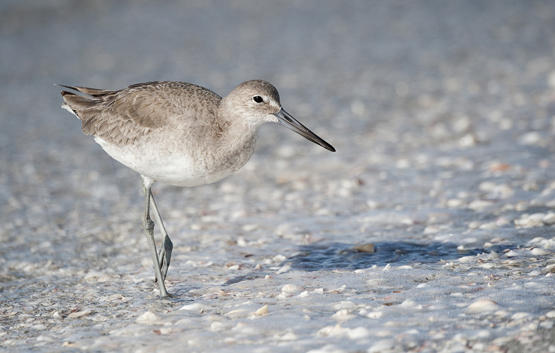 Willet by Russell Price - 3rd (adv col)