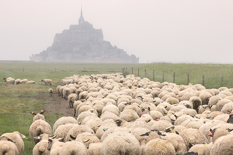 Sheep at Mont St Michel