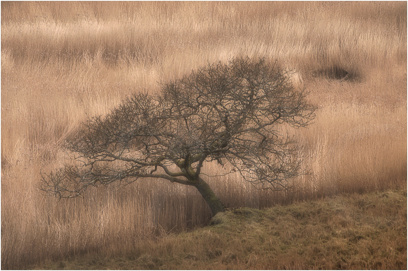 Winter Tree and Reeds by Sue Baker - 1st (Adv)