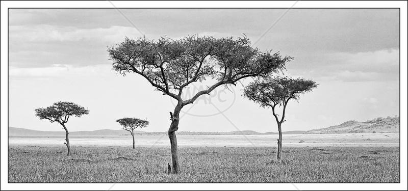 Acacias by Audrey Price - C (Adv mono)