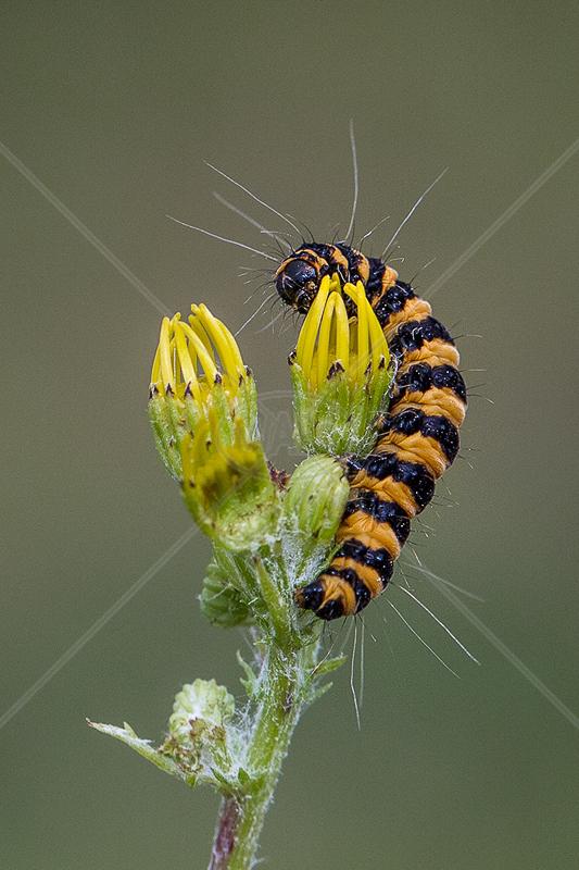 Cinnabar Caterpillar on Ragwort by Norman O'Neill - 1st (PDI)