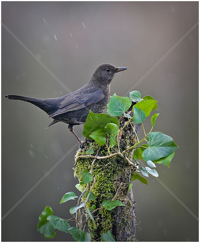 Blackbird by Steve Barber - Third (PDI)