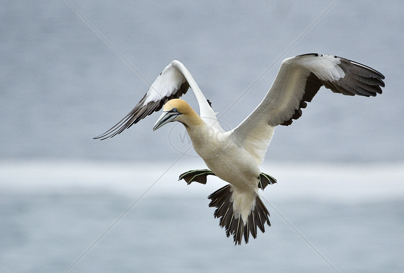 Landing Gannet by Russell Price - C (PDI)