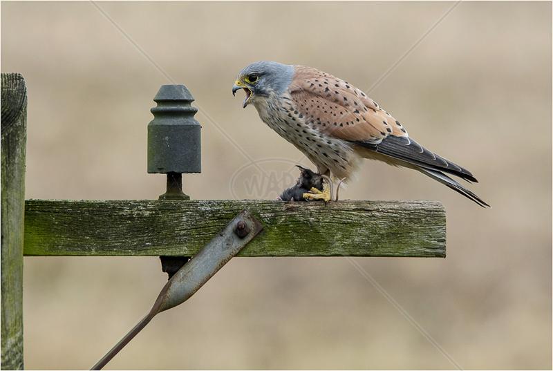 Male Kestral on Telegraph Pole by Steve Barber - C (PDI)