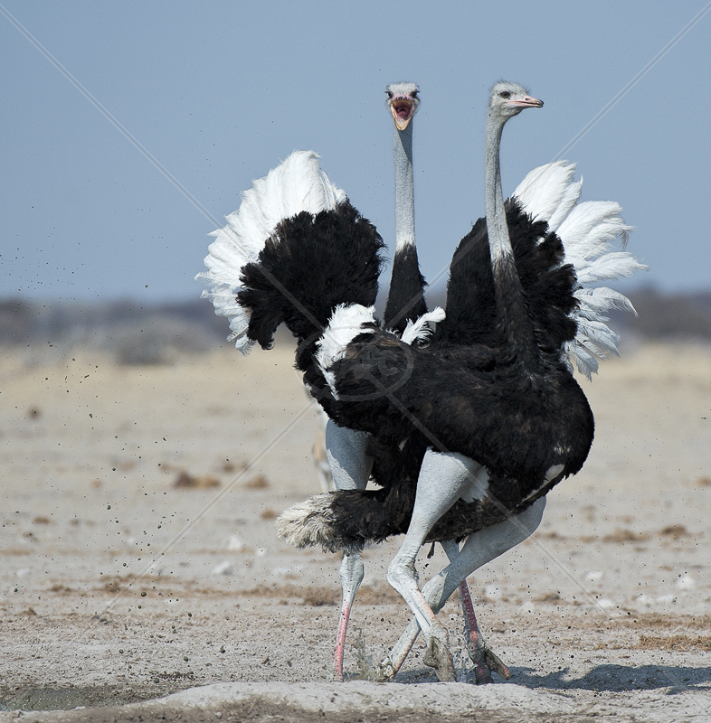 Ostrich Dispute by Audrey Price - C (PDI)