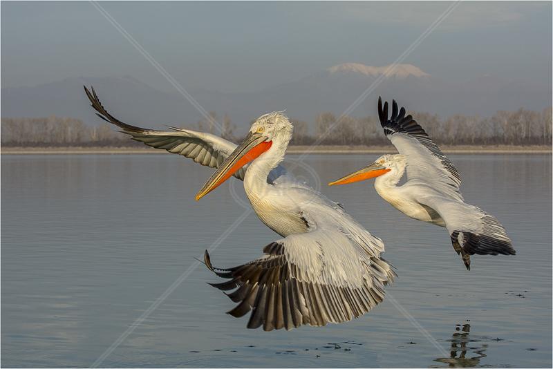 Pelicans Flying by Steve Barber - 2nd (PDI)