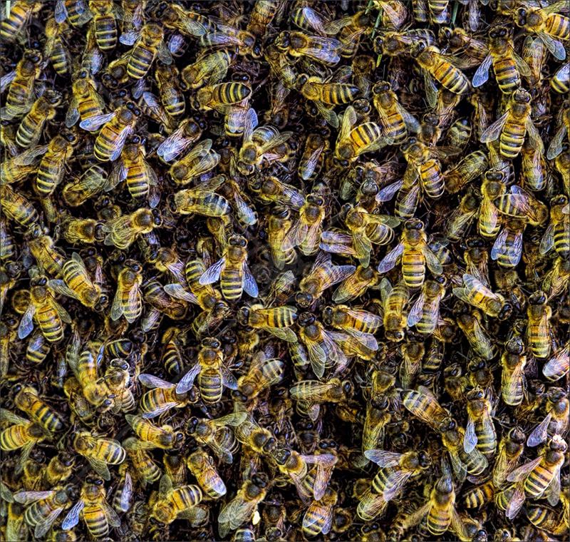 Swarming Bees by Calvin Downes - C (PDI)