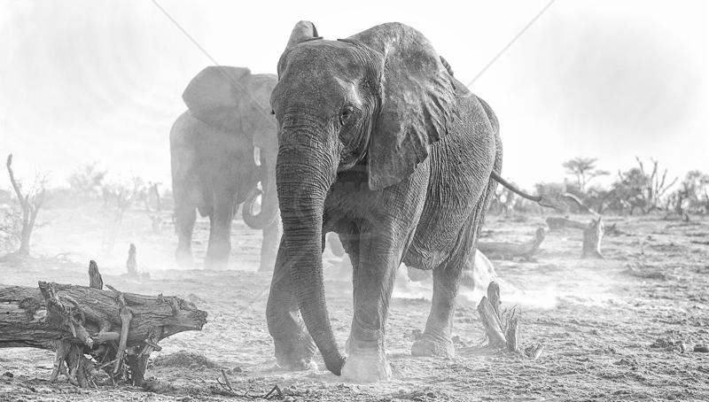 Bull Elephants by Audrey Price - HC (Adv mono)