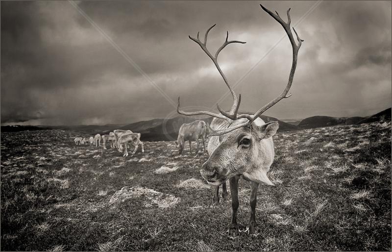 Reindeer Herd by Audrey Price - C (Adv mono)