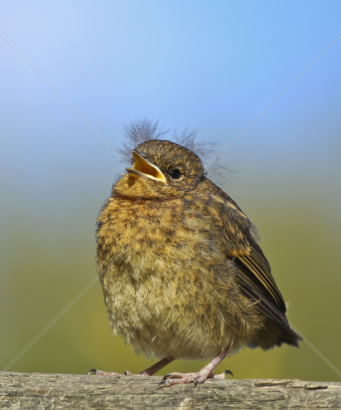 Fledgeling Robin by Peter Hodgkison - 2nd (Int col)