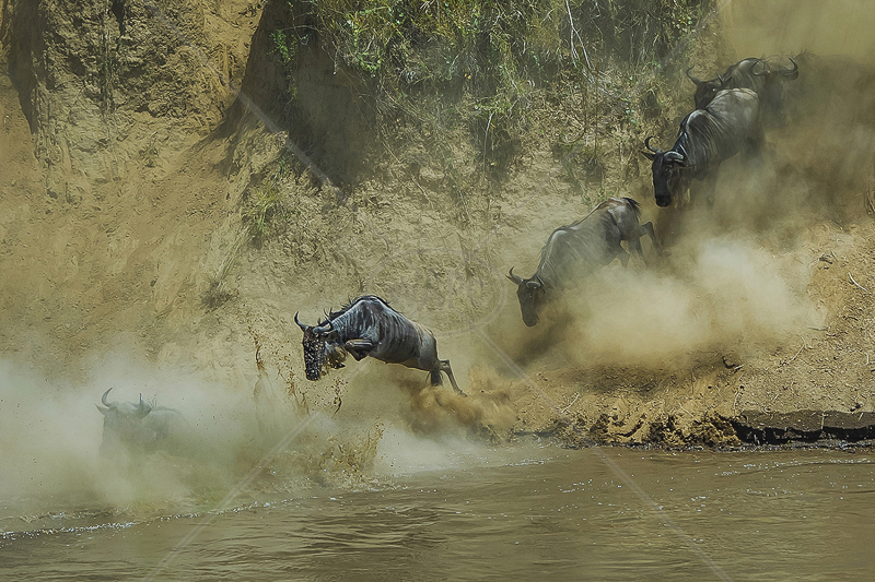 "FIAP Gold medal Best in show (Nat) - ""The Wildebeest Up Rive"" by Tak Cheong Pun EFIAPs"