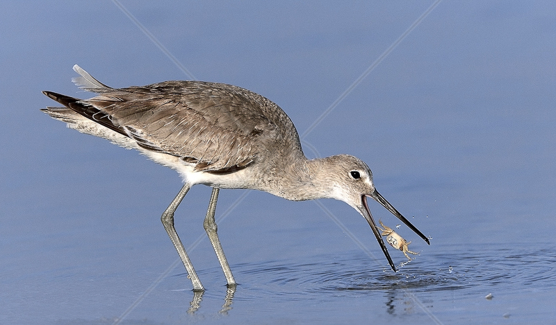 "PAGB Gold Medal (nat) - ""Willet with Crab"" by David Cantrille FRPS MFIAP MPSA MPAGB"