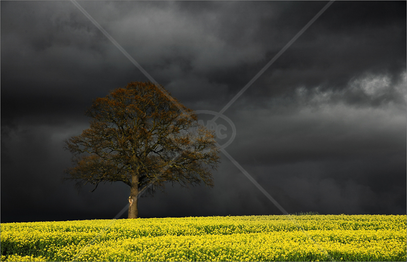 Rapefield with Incoming Storm by Tony Thomas - C (Adv)