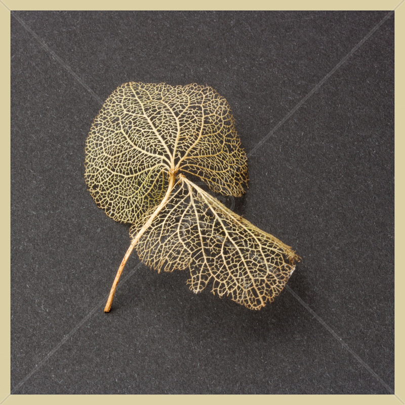 Hydrangea Petal Skeleton by Sharon Leighton - 3rd (Int col)
