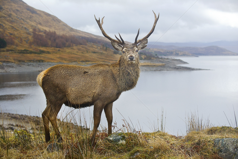 Glen Garry Stag by Russell Price - C (Adv col)