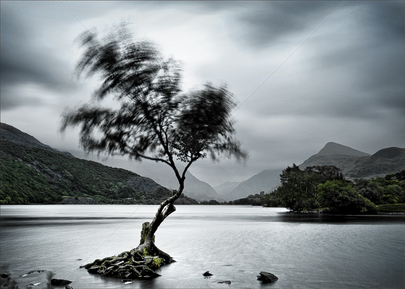 Lakeside Tree in Wind by Tony Thomas - C (Adv col)
