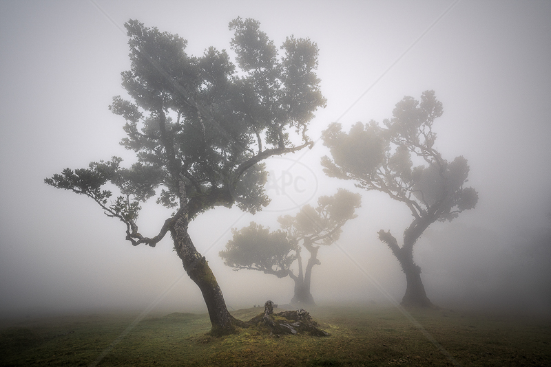 Laurissilva in Fog by Calvin Downes - PDI - 3rd
