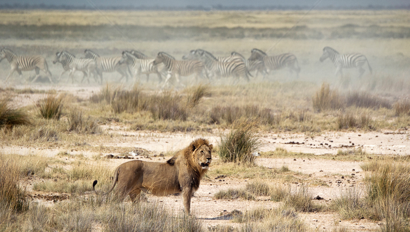 Male Lion Causing Zebra Stampede by Russell Price - ADV COL - HC
