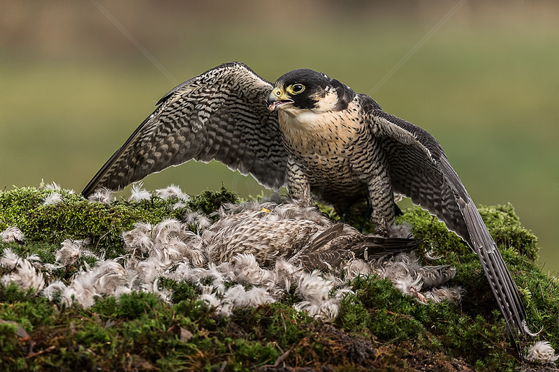 Peregrine Falcon Mantling by Norman O'Neill - ADV COL - 2nd