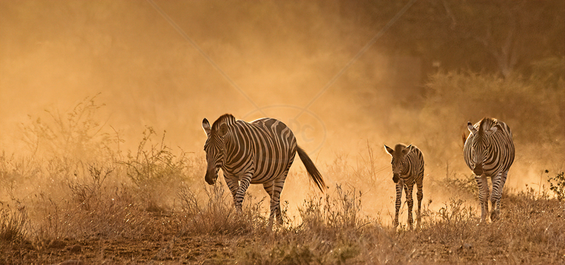 Zebras at Sunset by Audrey Price - ADV COL - C