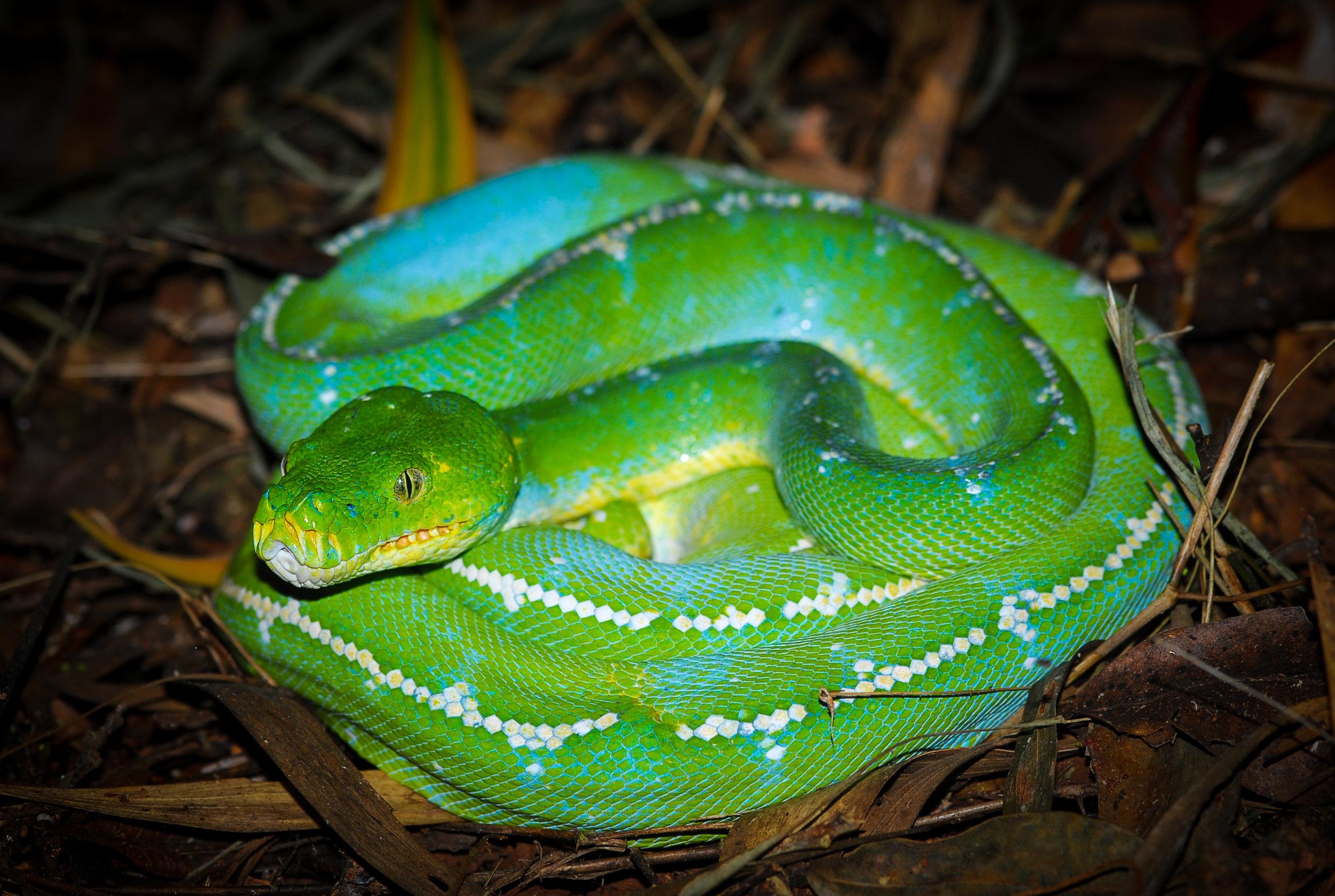 Cape York-IronRanges2-Snake.jpg