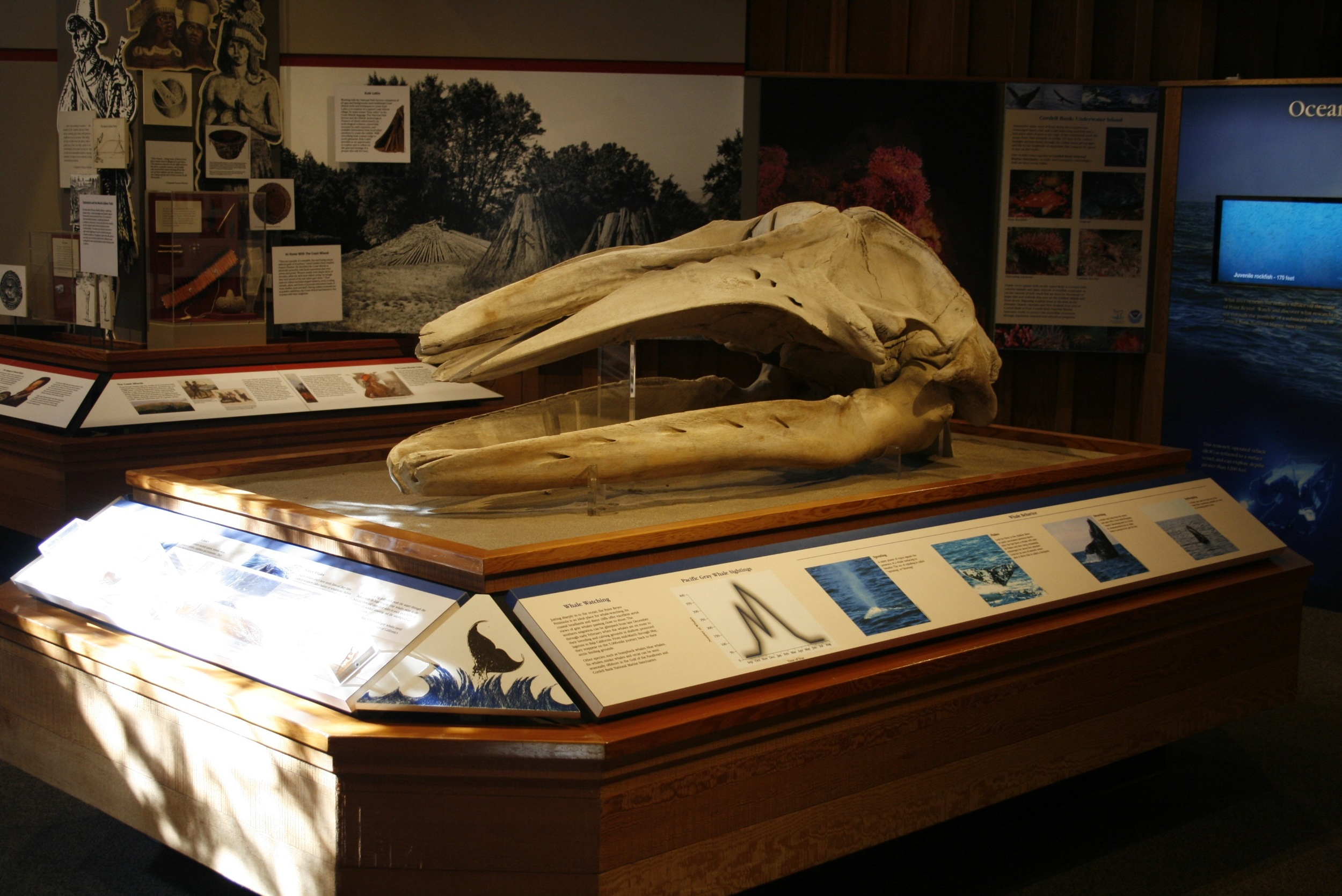 Young Gray Whale Skull at Bear Valley Visitor Center