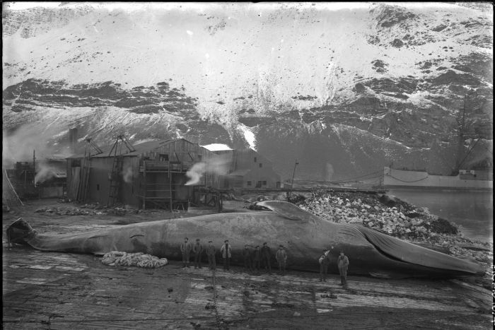 Blue whale at the Grytviken Whaling Station.jpg