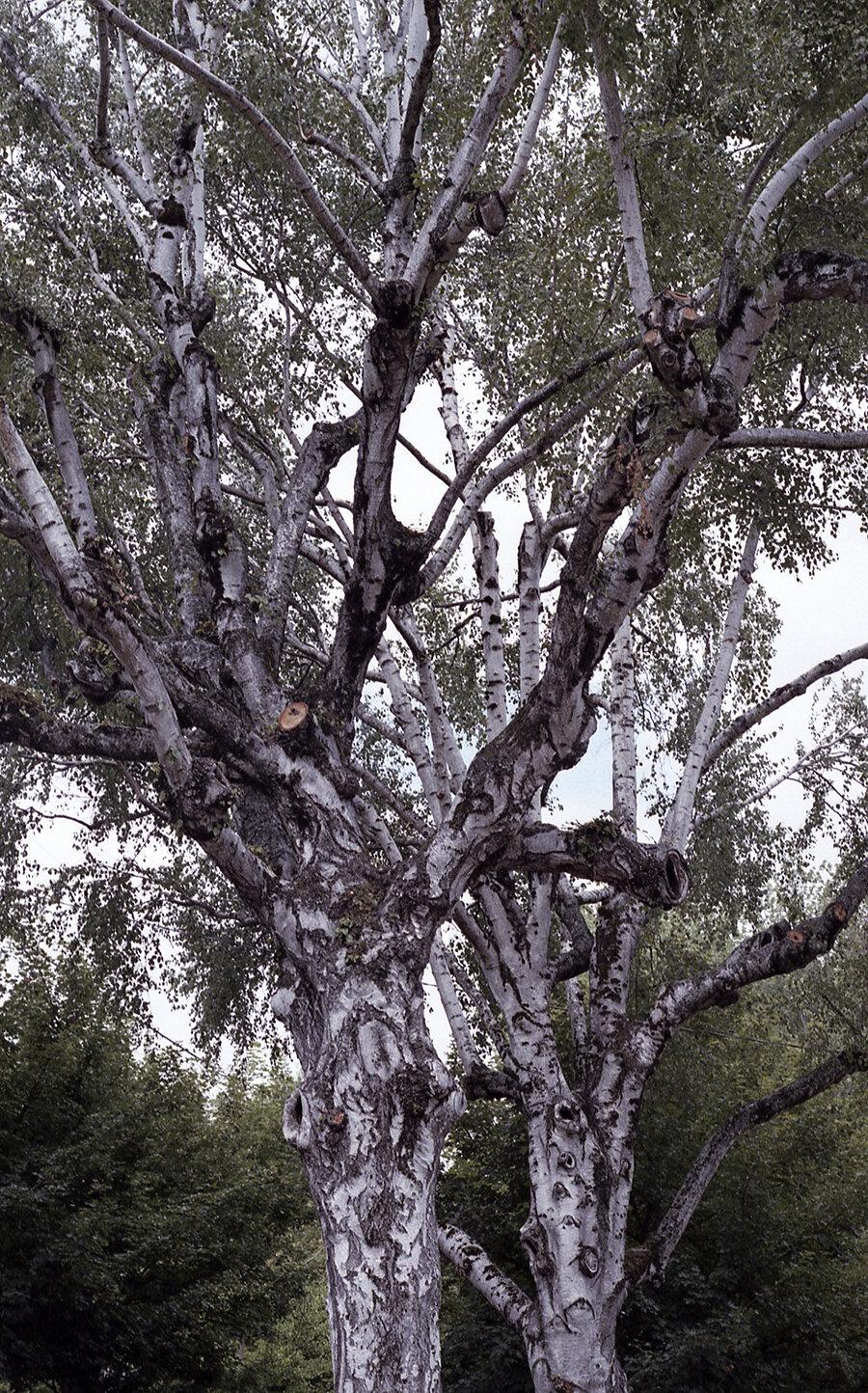 whitetrees_august2019_mattschu.jpg