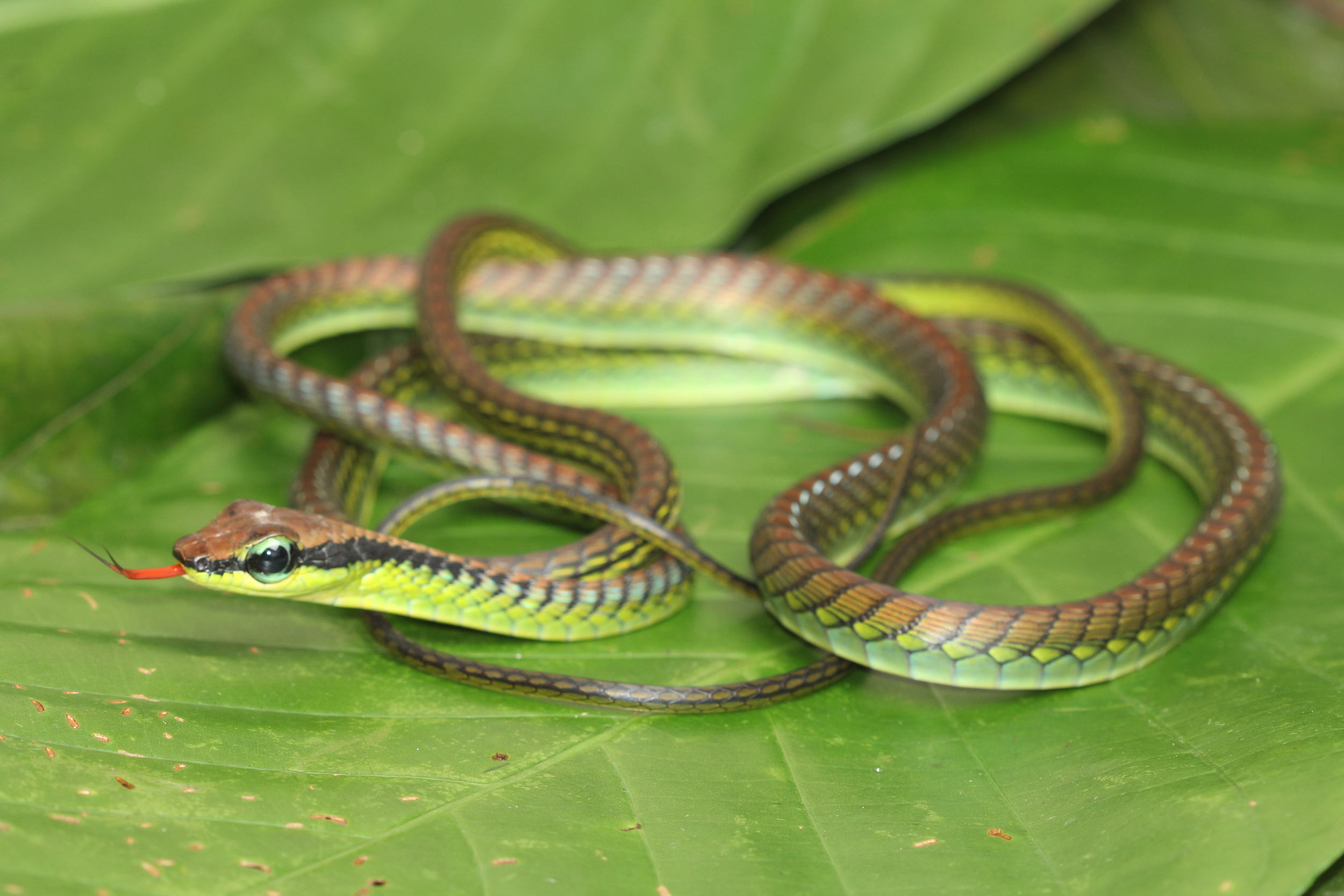 "Dendrelaphis formosus, one of many elegant tree snakes referred to as ""bronze backs.""  photo credit: Jackie Childers"