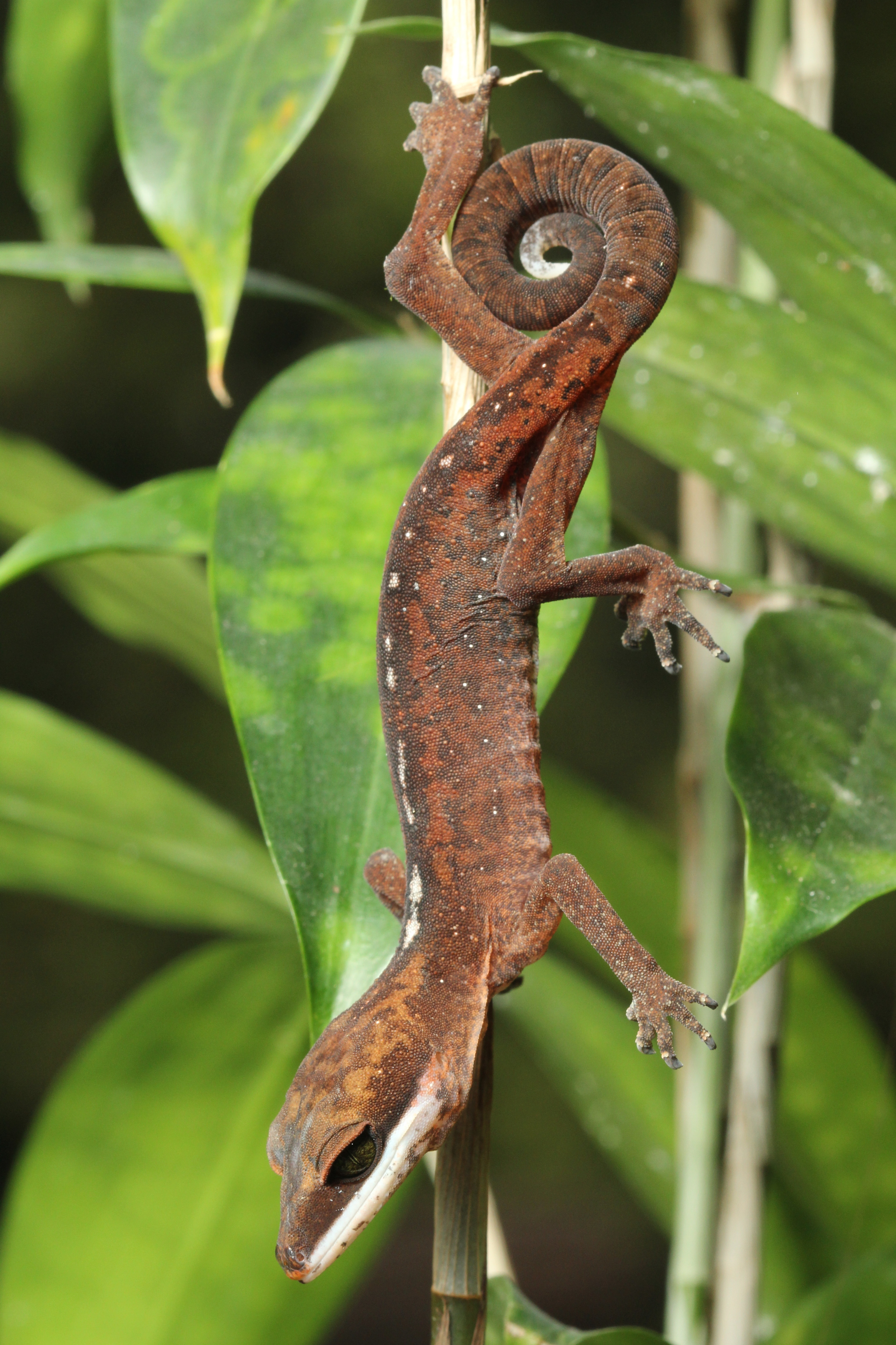 Aeluroscalabotes felinus , the Cat Gecko, so named for the retractable claws that disappear into sheaths, similar to cats.  photo credit: Jackie Childers